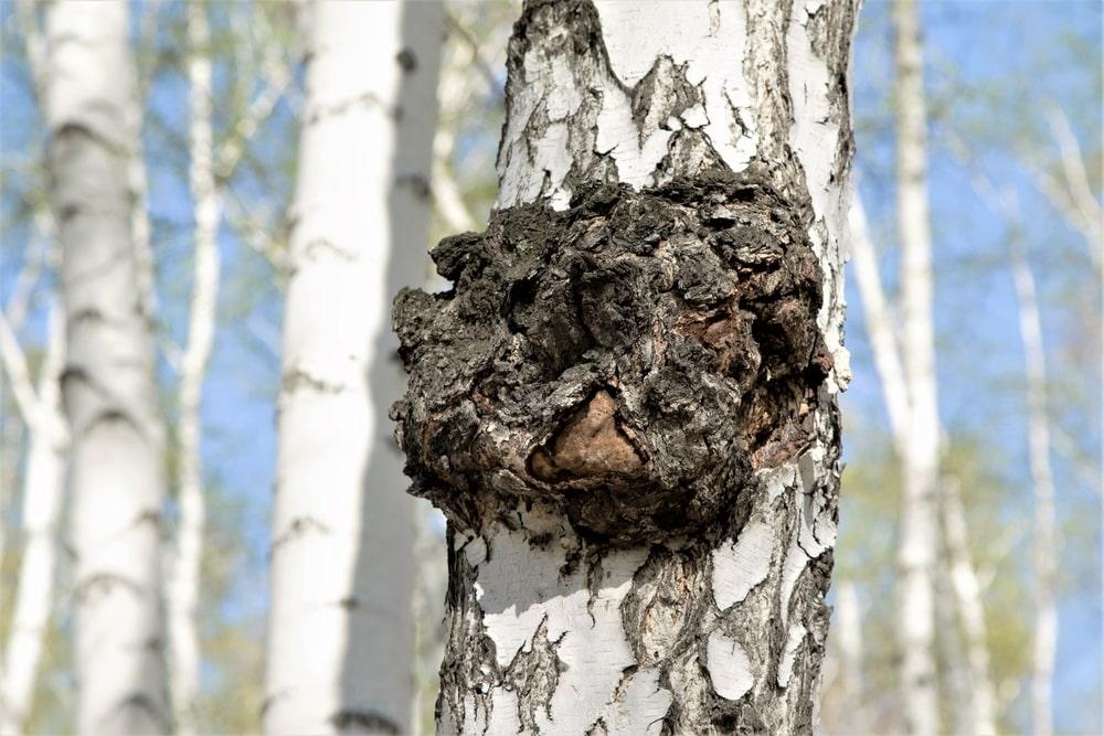 Чага или березовый гриб - суперфуд долголетия. В чем его польза и вред. Как употреблять