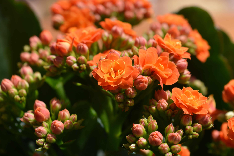 Каланхоэ - лечебное растение. Для чего его можно использовать